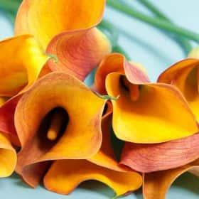 Калла оранжевая (от 7 шт.)