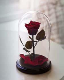 Темно-красная роза в колбе