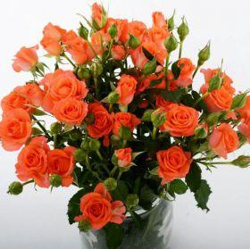 Роза кустовая Алегрия 60 см