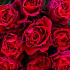 Роза Красная Эль Торо (от 11 шт.)