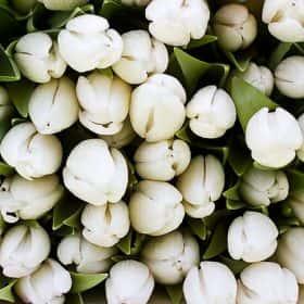Тюльпан Белый (от 21 шт.)