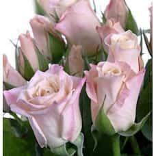 Роза Медео