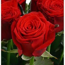 Роза Престиж