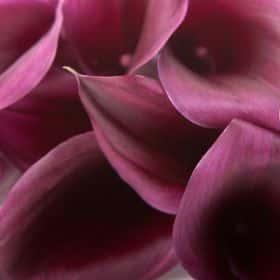 Калла цвета баклажан (от 7 шт.)